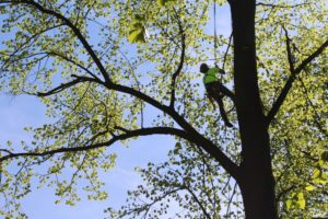 ukázka arboristiky - stromolezectví